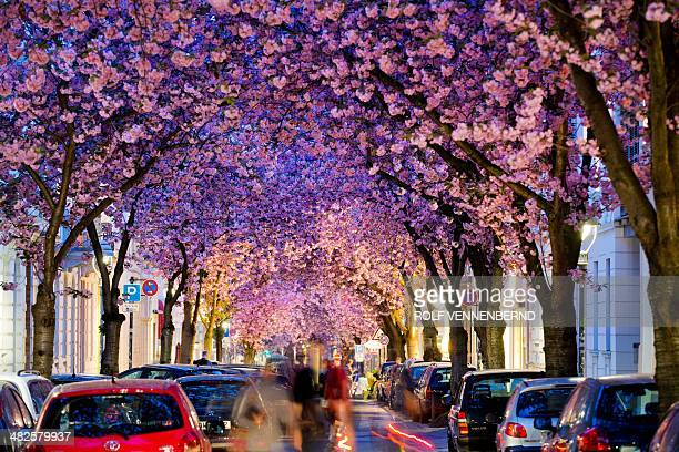 Flowering cherry trees stand in a street in Bonn western Germany on April 3 2014 Meteorologists forecast sunny and warm weather for the upcoming...