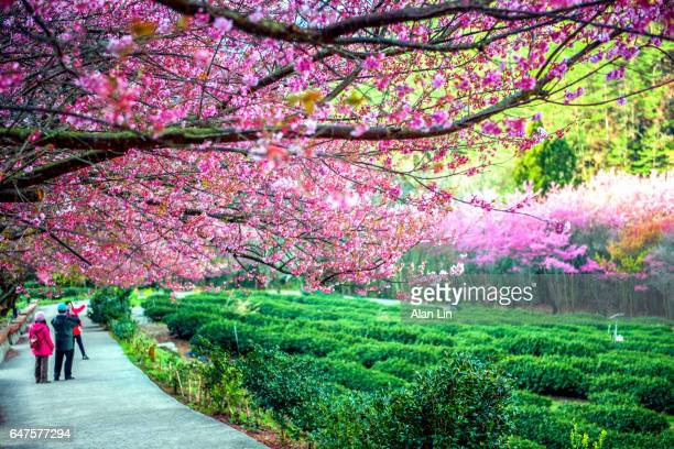 Flowering cherry trees, Wuling, Taiwan, China, Asia