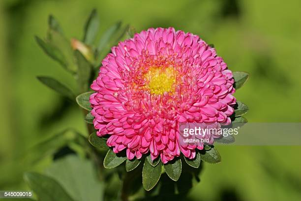 flowering china aster blossom close up