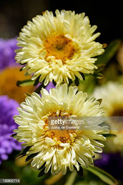 flowering china aster - blossoms close up (Callistephus chinensis)