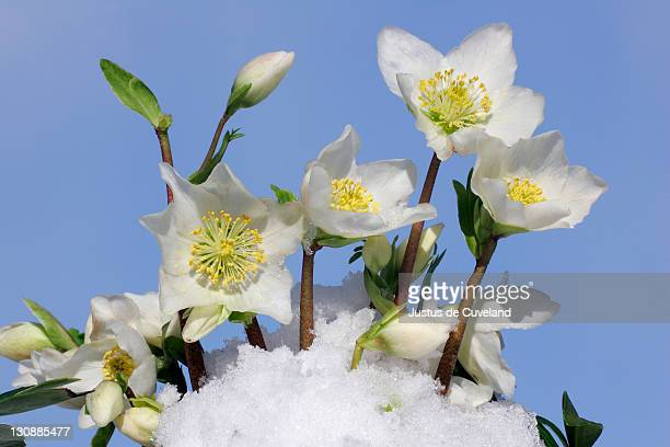 flowering christmas rose in snow (helleborus niger hybrid) - ヘレボルス ストックフォトと画像