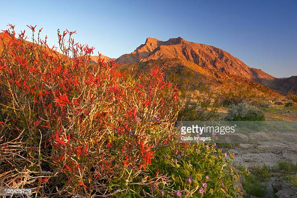Flowering chuparosa (Justicia californica) frames Indianhead Peak above Borrego Canyon at sunrise, Anza Borrego State Park, California, USA