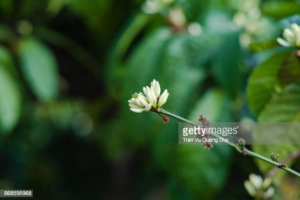 Flowering coffee branch in Buon Me Thuot