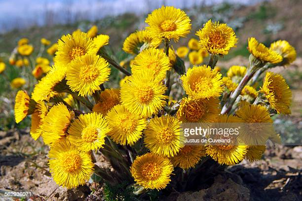 flowering coltsfoot foalfoot -tussilago farfara- medicinal plant - coltsfoot stock photos and pictures
