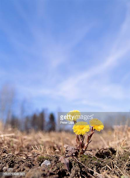 flowering coltsfoots (tussilago farfara), ground view - coltsfoot stock photos and pictures