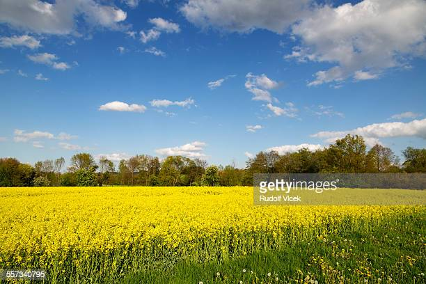 Flowering colza field landscape