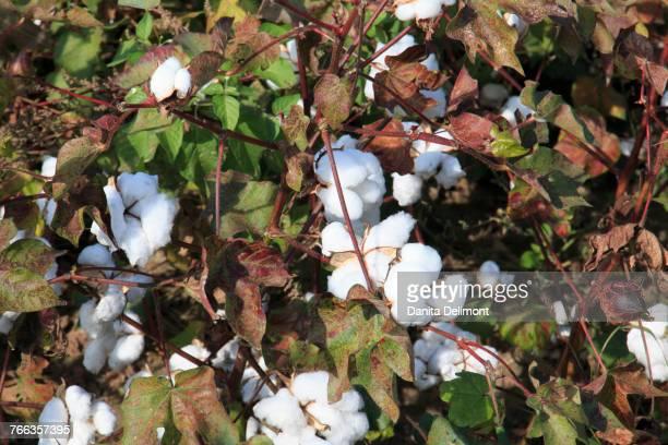 Flowering cotton plants, Aspendos, Antalya, Anatolia, Turkey