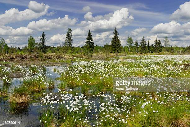 Flowering Cottongrass, Cotton-grass or Cottonsedge (Eriophorum sp.) in raised bog wetlands, Nicklheim, Bavaria, Germany, Europe