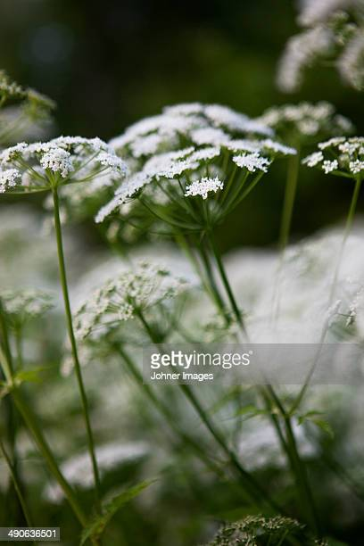 Flowering cow parsley, close-up