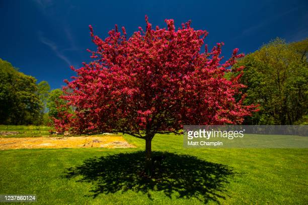 flowering crab apple tree - apple tree stock pictures, royalty-free photos & images