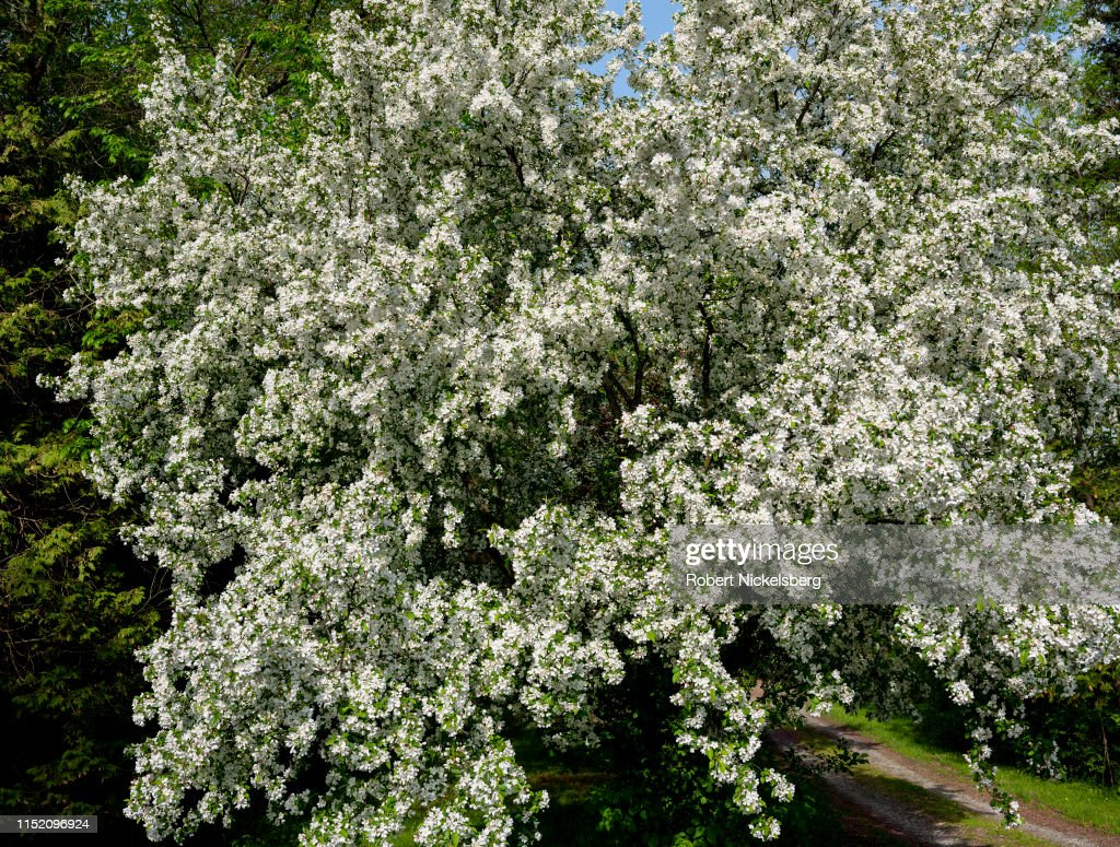 Flowering Crab Apple Tree In Charlotte, Vermont : News Photo