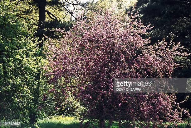 Flowering Crabapple Rosaceae