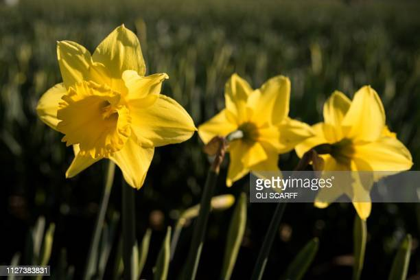Flowering daffodils are pictured growing in a field on Taylors Bulbs farm near Holbeach in eastern England on February 25 2019 Taylors Bulbs have...