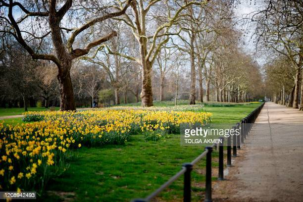 Flowering daffodils are pictured in an empty St James's Park in London on April 2 as life in Britain continues during the nationwide lockdown to...