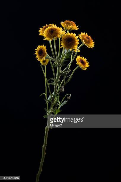 flowering daisy plant on black background - long stem flowers stock pictures, royalty-free photos & images