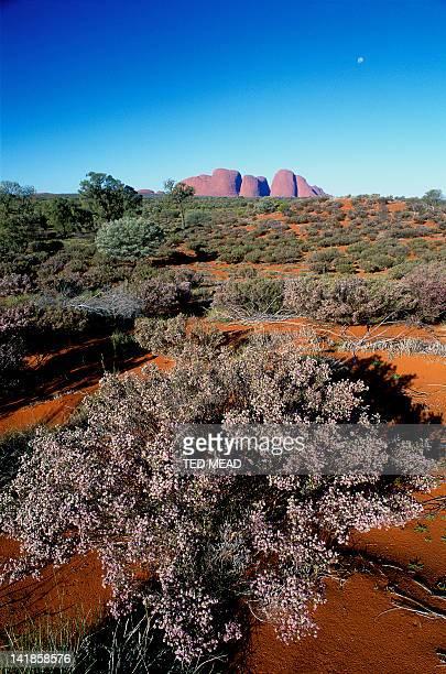 A flowering Desert Thryptomene bush ( Thrytomene maisonneui ) on a dune near Kata Tjuta, Uluru National Park, Northern Territory, Australia.