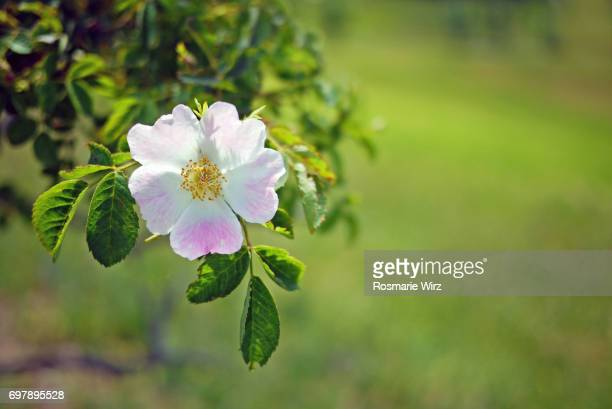 flowering dog rose (rosa canina) against green background. - dog rose stock photos and pictures