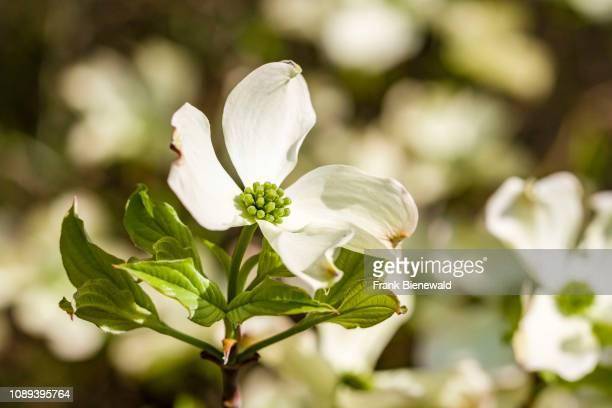 Flowering Dogwood blooming
