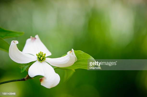 flowering dogwood blossom - ogphoto stock photos and pictures
