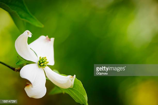 flowering dogwood blossom - dogwood blossom stock pictures, royalty-free photos & images