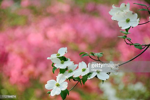 Flowering dogwood blossoms