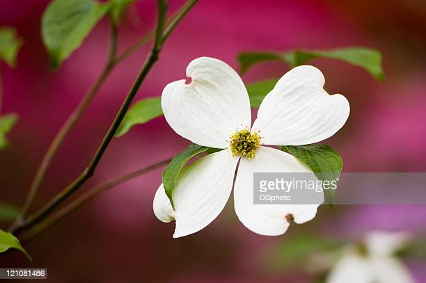 flowering dogwood blossoms - ogphoto stock pictures, royalty-free photos & images