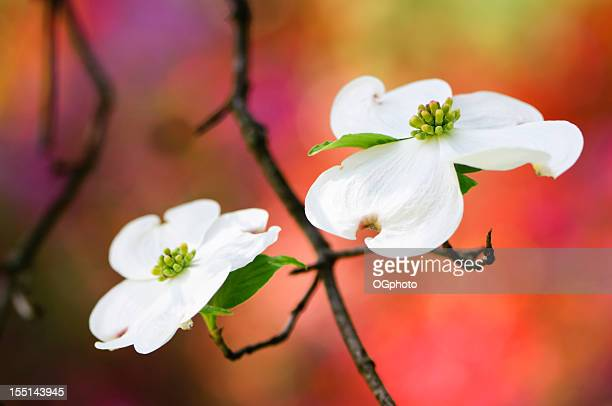 flowering dogwood blossoms - ogphoto stock photos and pictures