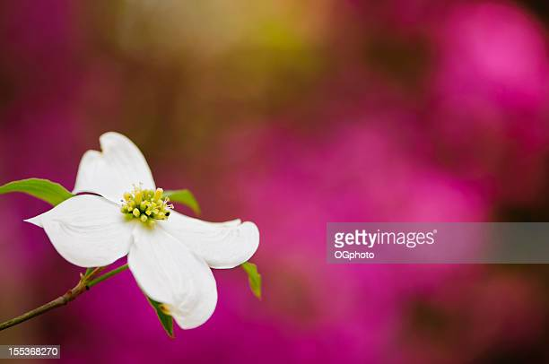 flowering dogwood blossoms - dogwood blossom stock pictures, royalty-free photos & images