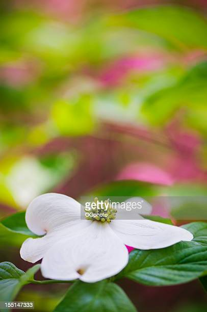 flowering dogwood blossoms with blurred background of colorful azaleas. - ogphoto stockfoto's en -beelden