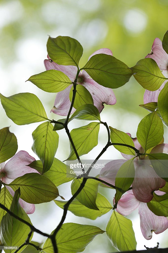 Flowering dogwood branch : Foto de stock