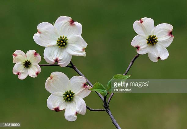 Flowering Dogwood. Cornus florida. Showy early spring flowers. 4 large white petal-like bracts enclose centrally located flowers. Michigan. USA