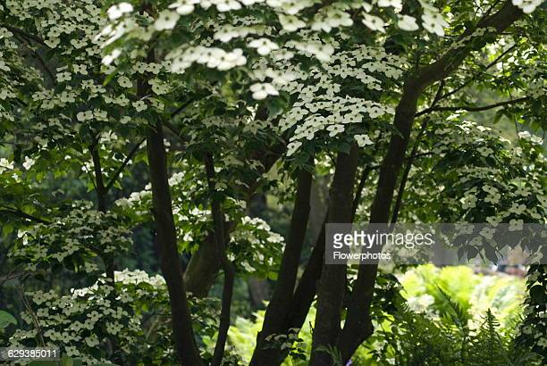 Flowering dogwood Cornus kousa