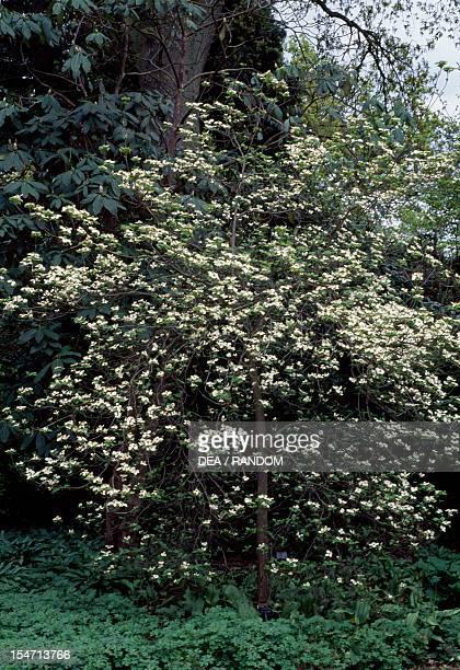 Flowering Dogwood in bloom Cornaceae Florida United States