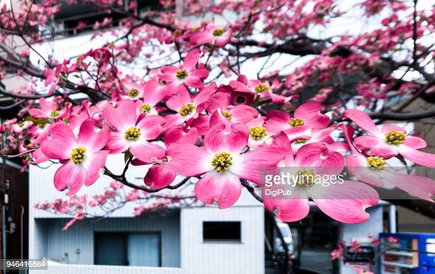 flowering dogwood in bloom - dogwood blossom stock pictures, royalty-free photos & images
