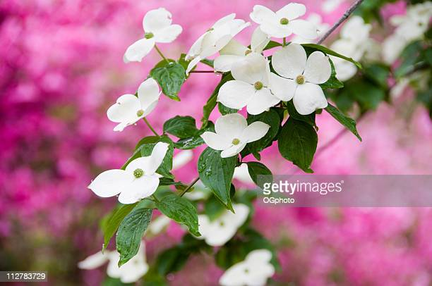 flowering dogwood in spring. - ogphoto stock pictures, royalty-free photos & images