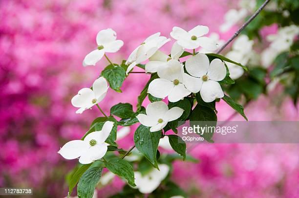 Flowering dogwood in spring.