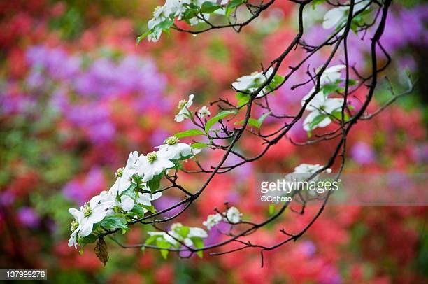 flowering dogwood in spring. - ogphoto bildbanksfoton och bilder