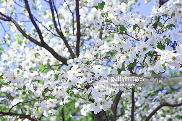 flowering dogwood (cornus florida) - kousa dogwood stock pictures, royalty-free photos & images