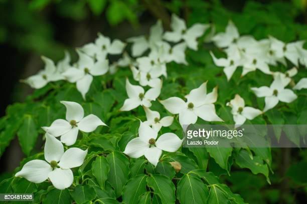 flowering dogwood - kousa dogwood stock pictures, royalty-free photos & images