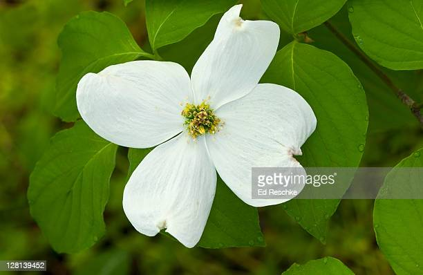 Flowering Dogwood Tree (Cornus florida) Showy early spring flowers. Four large petal-like bracts enclose centrally located flowers. Eastern deciduous forest. Great Smoky Mountains National Park, Tennessee, USA
