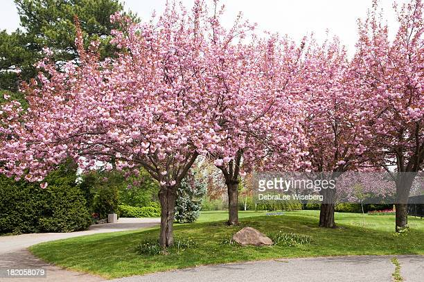 Flowering Double Almond Trees