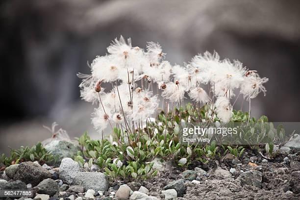 Flowering Dryas (Dryas spp.) on the edge of the Root Glacier in Wrangell-St. Elias National Park, Alaska.