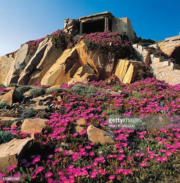 Flowering Elands Sourfig with the remains of military buildings in the area of Punta Rossa in the background Caprera Island La Maddalena Archipelago...