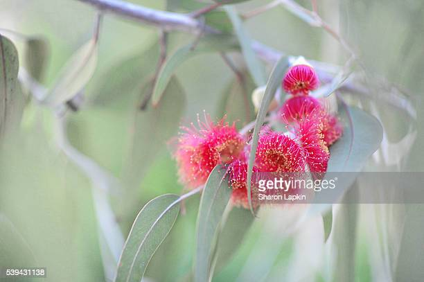 Flowering eucalyptus tree