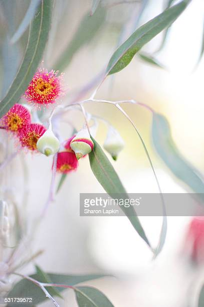 Flowering eucalyptus trees