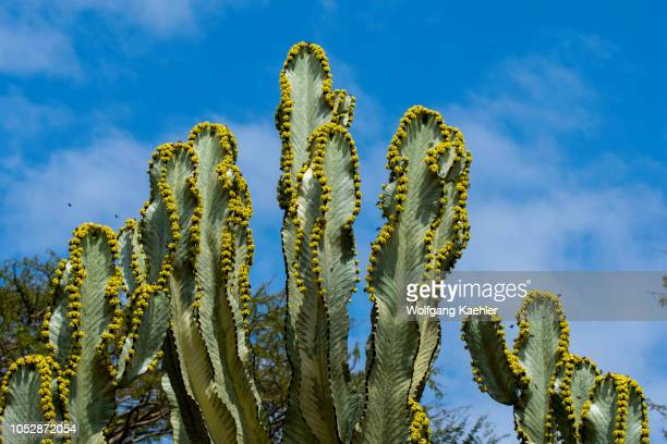 A flowering Euphorbia candelabrum a succulent species of plant in the Euphorbiaceae family one of several plants commonly known as candelabra tree in...