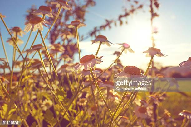 flowering feverfew in evening sun - catherine macbride stockfoto's en -beelden