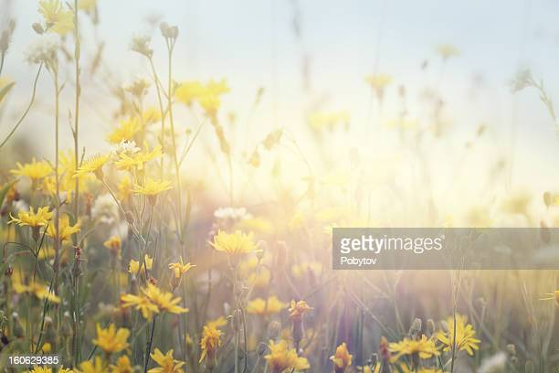 flowering field - may stock pictures, royalty-free photos & images