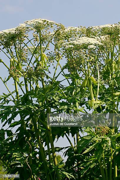flowering giant hogweed - poisonous plant (heracleum mantegazzianum) - giant hogweed stock pictures, royalty-free photos & images