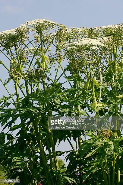 flowering giant hogweed - poisonous plant (heracleum mantegazzianum) - giant hogweed - fotografias e filmes do acervo